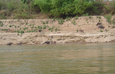 water buffalo along the mekong