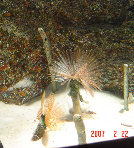 sand eels at the new BKK aquarium