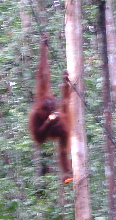 young orang in tree with bananas