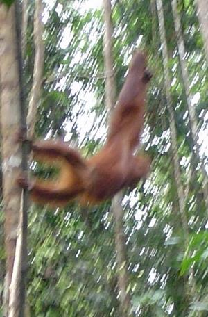 orangs coming to feeding station