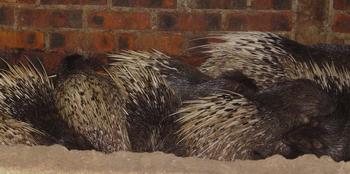 sleeping porcupines