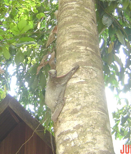 the flying lemur on the tree...
